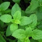 Usos medicinales de la Menta piperita (Mentha piperita).