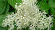 flores de ulmaria o reina de los prados