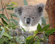 Eucalipto y el koala.