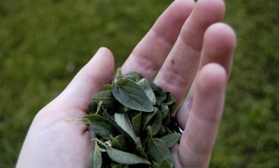 hojas de oregano en la mano