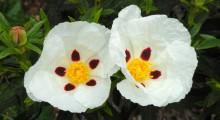 dos flores de jara pringosa