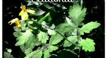 planta de celidonia y flor